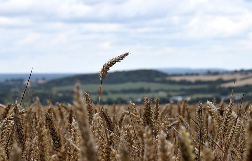 corn in a field, holybourne, hampshire